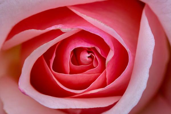 Rosa di rosa di LucaMonego