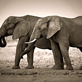 Brothers by Pieter J de Villiers - Black & White Animals