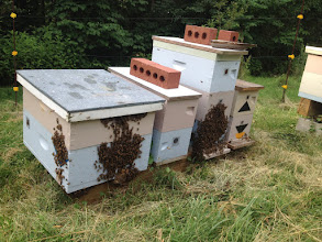 Photo: The nucs have built up by July and the challenge is to keep them from swarming.