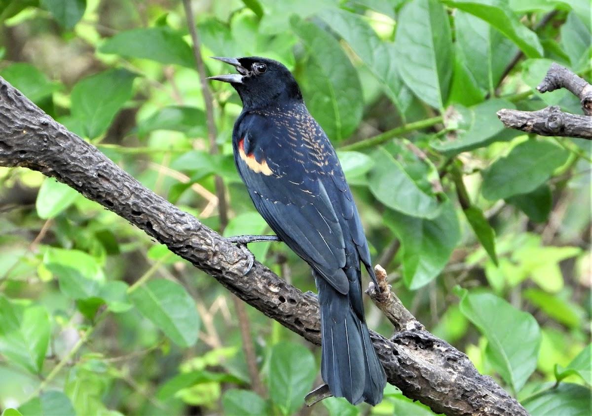 Rio Grande Red-winged Blackbird