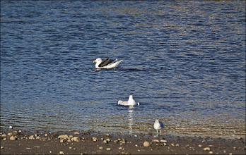 Photo: Bird N°38 Great Black Backed Gull. - Latin: Larus marinus