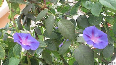 Photo: Vacker blå blomma