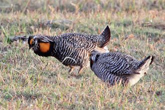Photo: Greater Prairie-Chicken