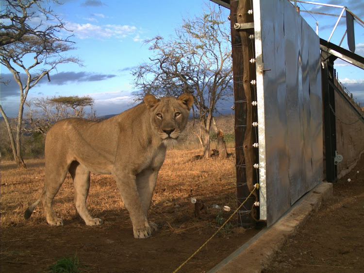 A lioness prepares to leave the boma