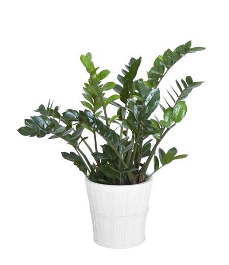 5 loại cây xanh tốt trong nhà thiếu sáng - PDDMxdvuD0F1RVeABHEvIjGNrHlns6mVGgkfvwOKUe8=w450 h521 no