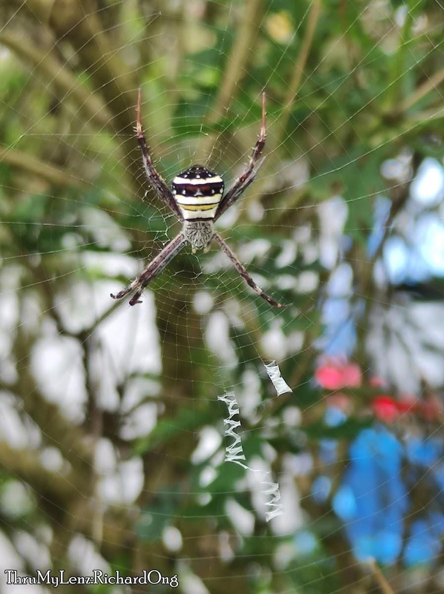 Multi-coloured Saint Andrew's Cross Spider