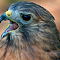Red-Tailed-Hawk-021.jpg