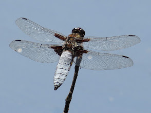 Photo: Broad Bodied Chaser (Libellula depressa), male This year I have really enjoyed watching, photographing and learning (by hours spent on ID!) all about the Odonata that I have seen around my little lake, and elsewhere. The background here is actually water, not sky, which is why there are odd blobs, which I can't fix because they are behind the wings!  For #buggyfriday  +Buggy Friday Curators +Ray Bilcliff +Dorothy Pugh +Victoria Etna #odeaday  #odonatapoker  Edit: To force this missing post to appear