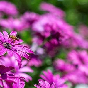 bee pollinates a flower 2.jpg