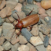 Poinciana Longicorn Beetle