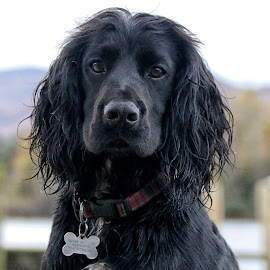Dylan... by Bob Brown - Animals - Dogs Portraits ( black dog, spaniel, cocker spaniel, keswick, lake district )