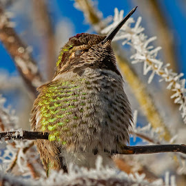 Snoozing in the Warm Winter Sun by Sparty Rodgers - Animals Birds ( pacific northwest, anna's hummiingbird, frost, hummingbird, western washington state )
