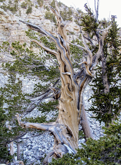 I just realised that most of my pictures are of dead Bristlecone Pine trees. I swear there are lives ones out here too!