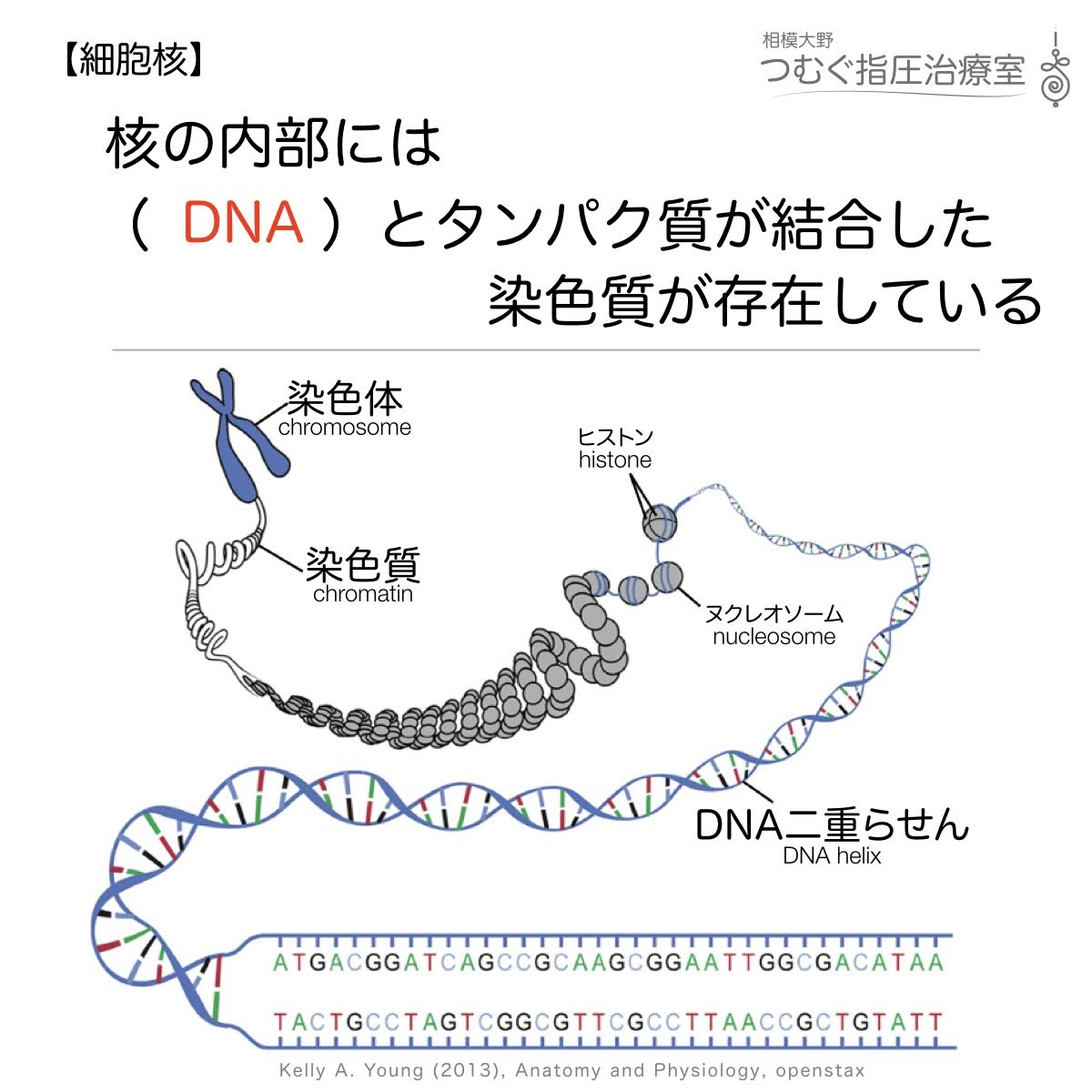 核の内部にはDNAとタンパク質が結合した染色質が存在している