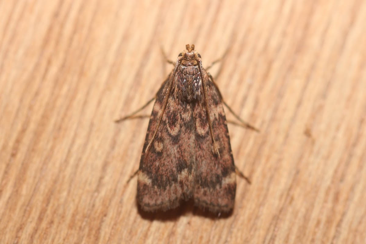Grease Moth - 5518