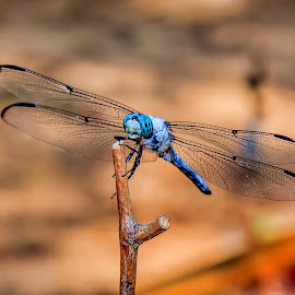 Dragon at rest by Bruce Newman - Animals Insects & Spiders ( dragonfly, macro photography, insect, nature close up, colorful,  )
