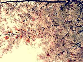 Photo: Blossoms @ Central Park