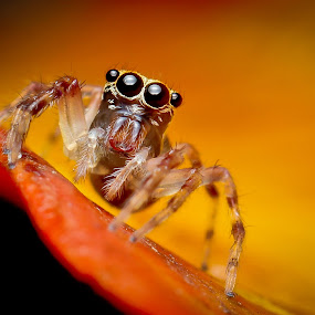 Jumper by Oren Kaler - Animals Insects & Spiders ( nature, insects, small, close up. spider )