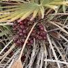 Mediterranean Fan Palm