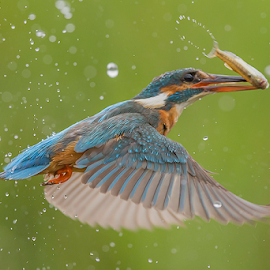 by Adam Caird - Animals Birds ( water, nature, fish, wildlife,  )