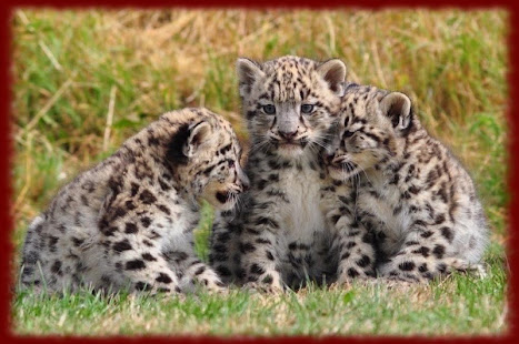 Baby Leopard Cubs Wallpapers