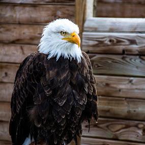 sea eagel by Franky Vanlerberghe - Animals Birds ( eagel, zeearend;arend, sea eagel,  )