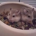 Roborovski hamsters