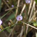 Carolina Sea Lavender