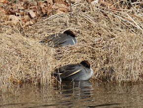 Photo: 撮影者:古山隆 コガモ タイトル:コガモ(亜種アメリカコガモ) 観察年月日:2014/02/02 羽数:雄1羽 場所:高月浄水場 池 区分:希少 メッシュ:拝島6E コメント:コガモの群れの中に亜種アメリカコガモ♂が1羽混じっていた。睡眠中で顔は見られず…。画像、上の個体が亜種アメリカコガモ。
