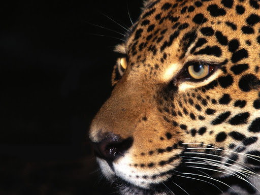 Jaguar Animal Live Wallpaper
