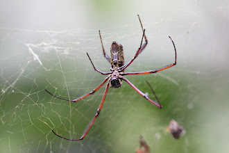 Photo: Nephila orb weaver