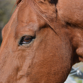horse by Char Robertson - Animals Horses ( love, majestic, beautiful, horse, brown )
