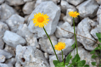 Photo: Doronico foglie cuoriformi