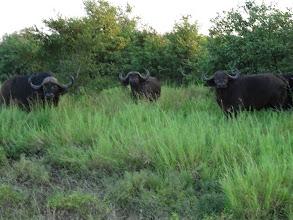 Photo: African (Cape) Buffalo