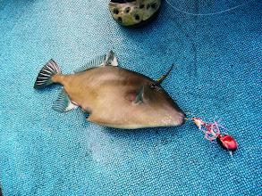 Photo: タイラバで・・・ウマズラ。  しかし、釣れません。 悩んでます。