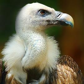 Fauve by Gérard CHATENET - Animals Birds