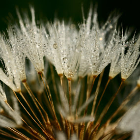 Dew Seeds by Don Guindon - Nature Up Close Flowers - 2011-2013 ( macro, water drops, soft focus, daisy, close up )