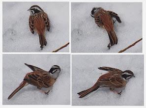 Photo: 撮影者:粕谷和夫 ホオジロ タイトル:ホオジロの雪浴 観察年月日:2014年2月12日 羽数:1羽 場所:湯殿川・住吉橋から約300m上流 区分:行動 メッシュ:八王子7G コメント:河原の雪の上にいた1羽のホオジロガ雪上で雪浴を始めた。野鳥の水浴、砂浴、煙浴、蟻浴などは知られているが、雪浴は初めての観察だ。スズメの砂浴と同じような仕草であった。