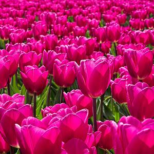 Tulpen-23 BEA.jpg