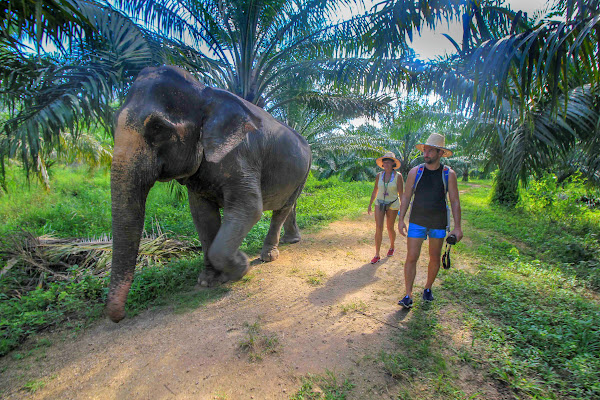 Walk with the elephant through palm and rubber tree plantations