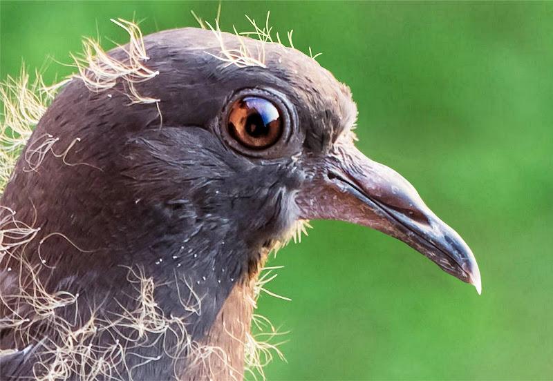 Un piccione ... un po' arruffato di alidabrivio