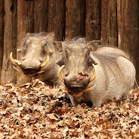 Smile by Stacey Bates - Animals Other Mammals ( pumba, fall, zoography, tusks, leaves, smile, warthog,  )