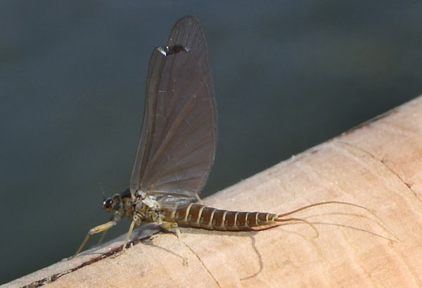Разред Ефемероптера - Еднодневки / Order Ephemeroptera  Mayflies