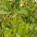 Fruto del mangle rojo