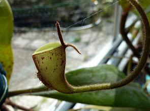 Photo: Nepenthes ampullaria seltene Hochkanne / rare upper pitcher
