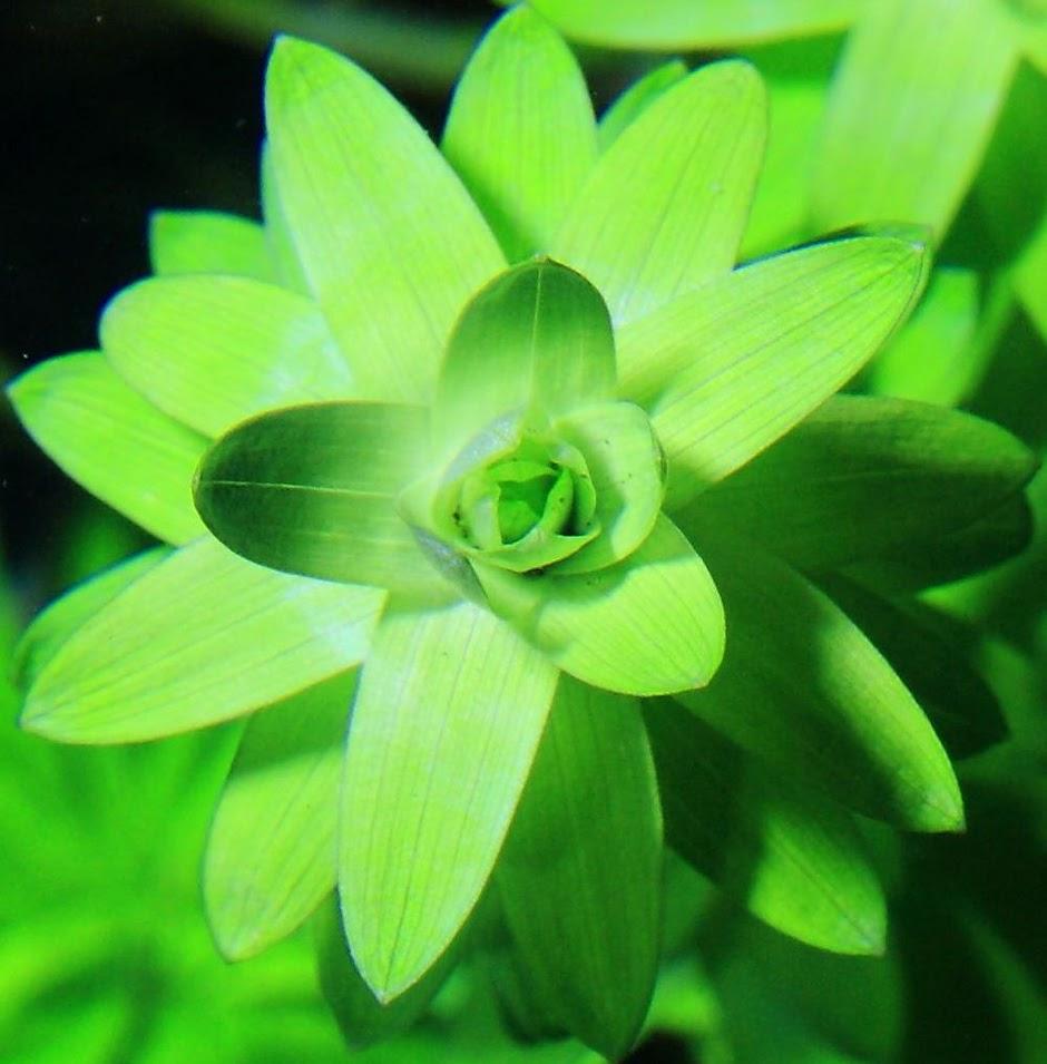Тонина речная (Tonina fluviatilis)