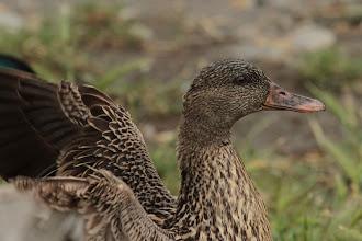 Photo: Canard (Petite Camargue)
