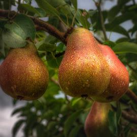 Pair of Pears by Dennis McClintock - Food & Drink Fruits & Vegetables ( pears, fruit tree, fruit, pear tree, food,  )