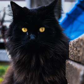 Yellow Eyes by Kyle Blakeburn - Animals - Cats Portraits ( whiskers, black cat, cat, yellow eyes, cat eyes, portrait, eyes,  )