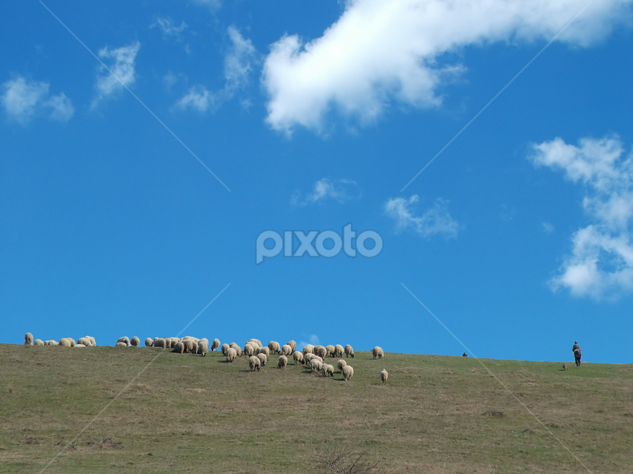 Sheep in the field by Зоран Милојковић - Landscapes Prairies, Meadows & Fields